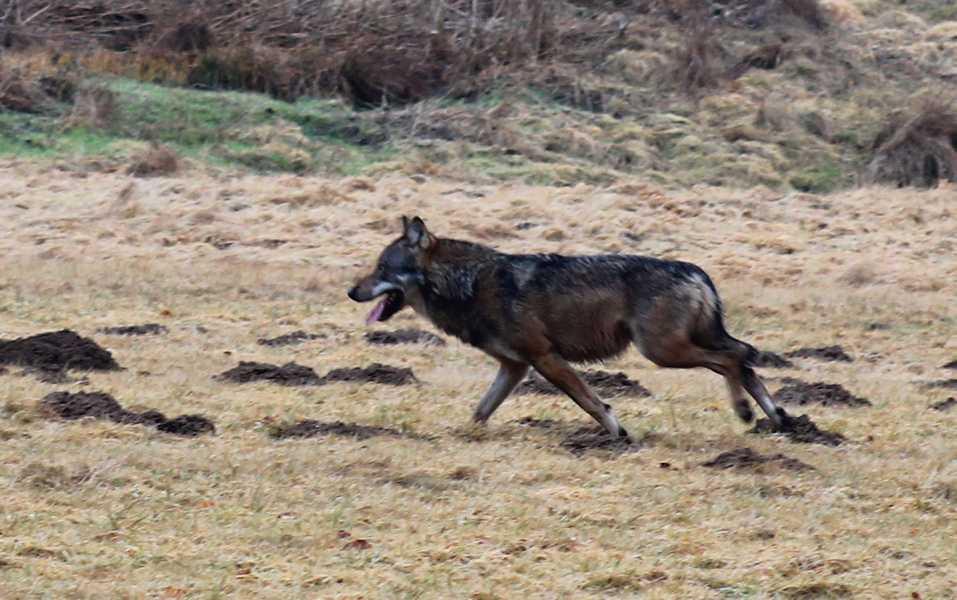 wolf_westerwald_stadler