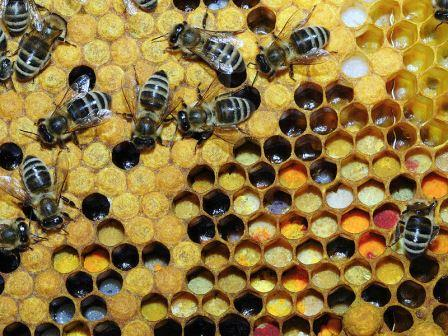 800px-Pollen_in_Wabe_31b